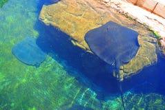 Electric stingray in Eilat  aquarium . Israel Stock Image