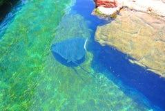 Electric stingray in Eilat  aquarium . Israel Stock Images