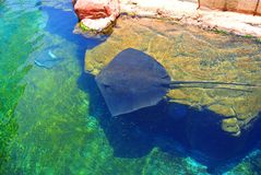 Electric stingray in Eilat  aquarium . Israel Royalty Free Stock Photography