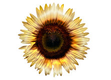 Electric Sunflower. Manipulated image of a yellow sunflower Stock Photos