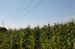Electric tower in the middle of a field of corn . royalty free stock image