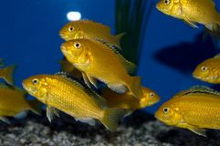 Electric Yellow Lab Cichlid. The Electric Yellow Cichlid is set apart from other African Cichlids by its striking electric yellow coloration. It injects an royalty free stock images
