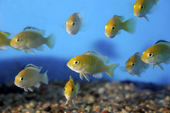 Electric Yellow Cichlids  700076 Stock Image
