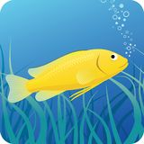 Electric yellow labido fish under water. Electric yellow labido tropical fish on the blue underwater background with seaweed Stock Images