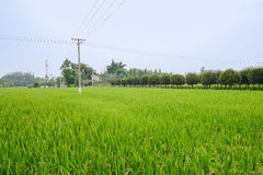 Electrical poles in rice fields near small village Royalty Free Stock Photography