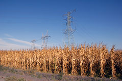Electrical Towers and Corn Stock Image