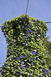 Electricity pole and cables covered by a vine with purple flowers royalty free stock images