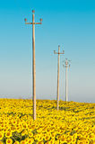 Electricity poles in sunflower field Stock Photos
