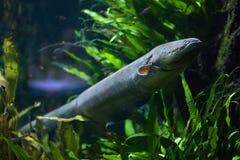 Electricus d'Electrophorus d'anguille électrique Photographie stock