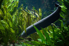 Electricus d'Electrophorus d'anguille électrique photos stock