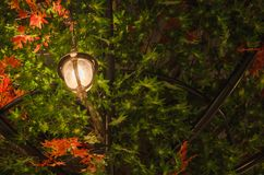 Lamp and maple tree