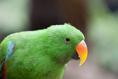 Electus Parrot royalty free stock image
