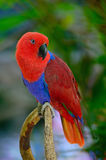 Eclectus parrot Stock Photo