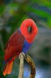 Electus parrot Stock Image