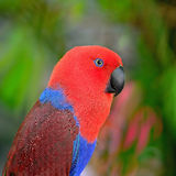 Eclectus parrot Royalty Free Stock Image