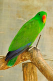 Electus parrot Stock Image