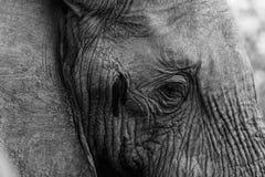 Elefantöga Royaltyfri Fotografi