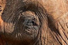 Elefantöga Royaltyfria Foton