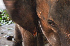 Elefantöga Arkivbild
