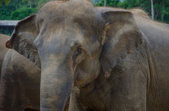 Elefantögon Arkivbild