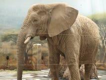 Elefant östliga Bohemia Arkivbilder