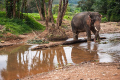 Elefant που στέκεται στον ποταμό στο τροπικό δάσος του αδύτου Khao Sok, Ταϊλάνδη Στοκ Εικόνες