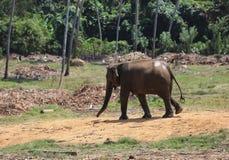 Elefant в джунглях Стоковое Изображение