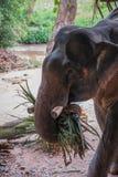 Elefant есть траву в дождевом лесе святилища Khao Sok, Таиланда Стоковая Фотография RF