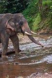 Elefant сидя в реке в дождевом лесе святилища Khao Sok Стоковые Фотографии RF