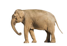 Elefant Stock Image