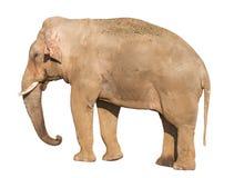 Elefant Royalty-vrije Stock Afbeelding
