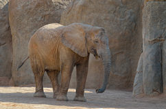 Elefant. On the brown rock Royalty Free Stock Images