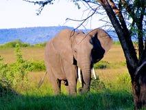Elefant 1 Arkivfoton