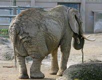 elefant 5 Royaltyfri Foto