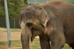 Elefant Lizenzfreie Stockbilder