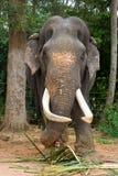 elefant Obraz Stock