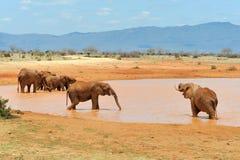 Elefant Fotografering för Bildbyråer