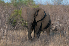 Elefant Photos stock