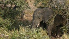 Elefant arkivfilmer