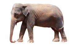 elefant Royaltyfria Bilder