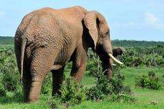 Elefant, Addo Elefant-Park Lizenzfreie Stockfotografie