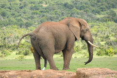 Elefant, Addo Elephant National-Park Lizenzfreies Stockfoto