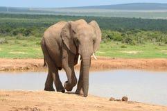 Elefant, Addo Elephant National-Park Lizenzfreie Stockfotos
