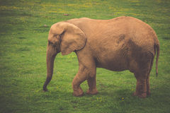 Elefant in Addo Elephant National Park, Südafrika Lizenzfreie Stockfotografie