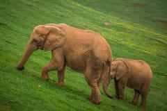 Elefant in Addo Elephant National Park, Südafrika Stockbild