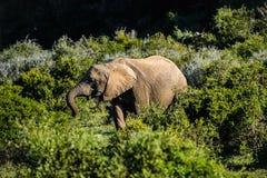 Elefant in Addo Elephant National Park, Südafrika Stockfoto