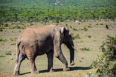Elefant in Addo Elephant National Park, Südafrika Stockfotografie