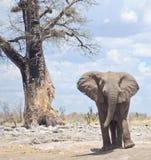Elefant in Afrika Stockbild