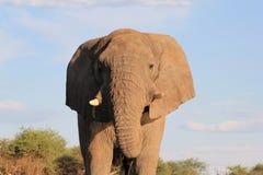Elefant afrikan - dig litet ting Royaltyfria Bilder