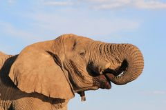Elefant afrikan - storen törstar 3 Royaltyfria Foton